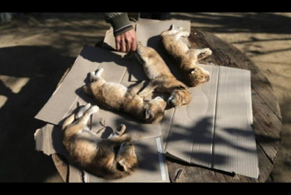Gaza: Newborn Lion Cubs Die from Cold Weather