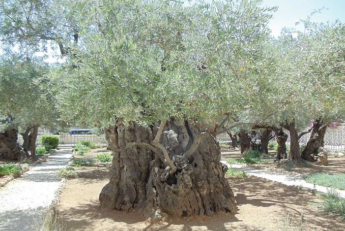 olive tree leaves the palestinian olive tree and ahed tamimi palestine 1179